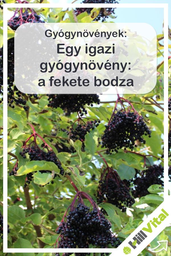 Bodza - Tudástár