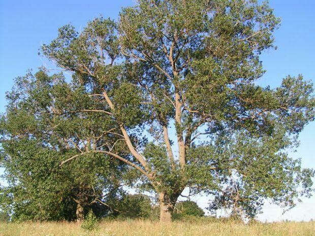 nyárfa magas vérnyomásban)