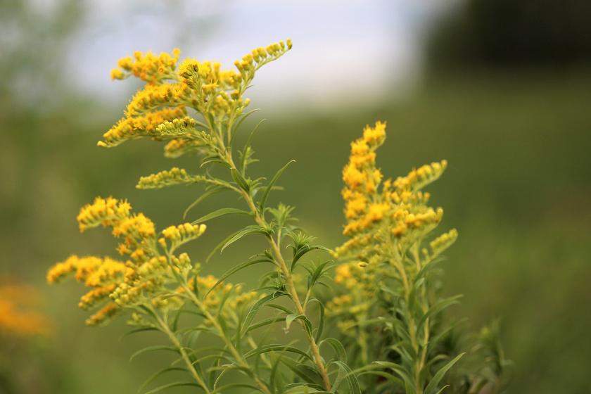 milyen növények segítenek a magas vérnyomásban mi a magas vérnyomás elleni gyógyszer 2 fok