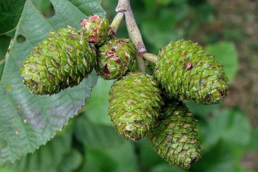 nyárfa kéreg magas vérnyomás