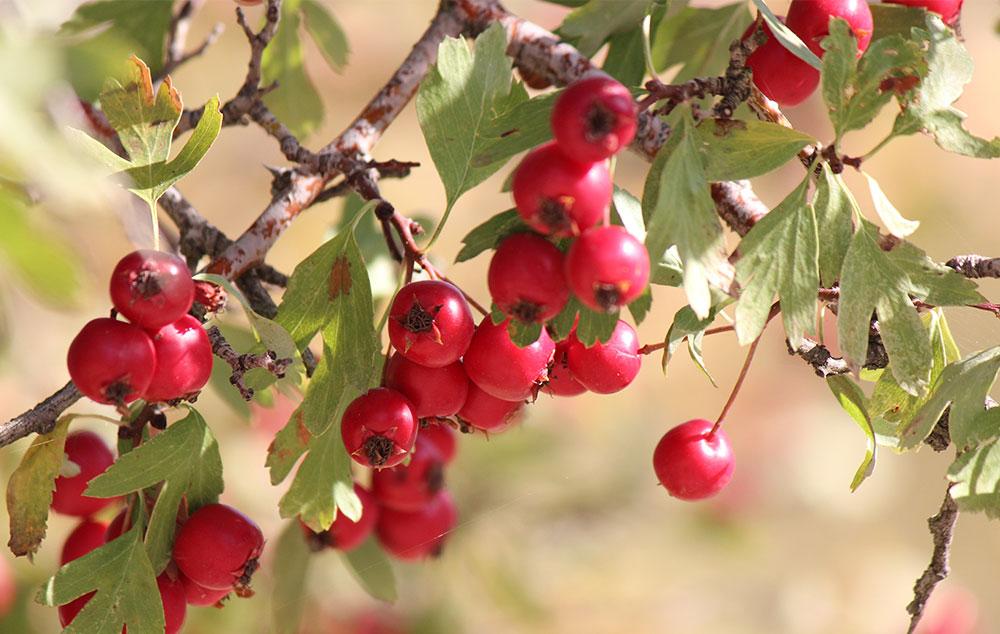 hogyan kell főzni galagonya gyümölcsöket magas vérnyomás esetén