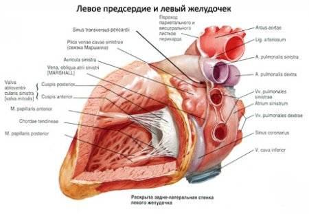 a szív megnagyobbodott a magas vérnyomástól)
