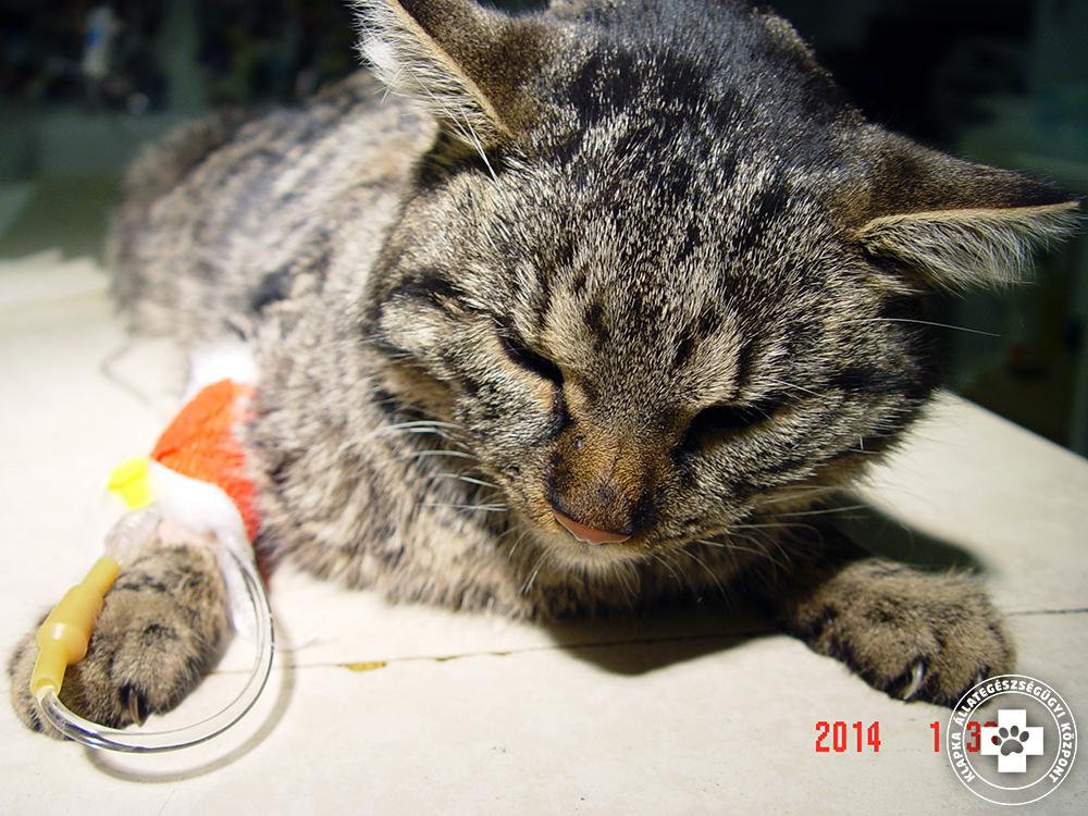 macska hipertónia kezelése