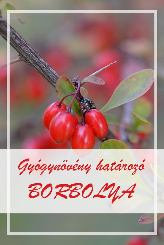 magas vérnyomás és borbolya)