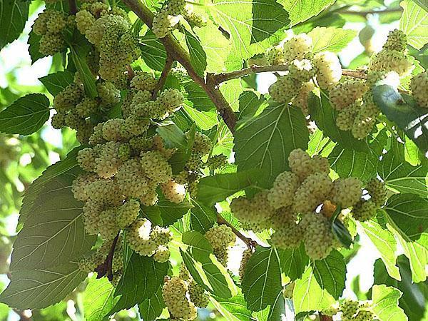 Egy igénytelen fa gyümölcse kezeli a rákot - Egészségtér