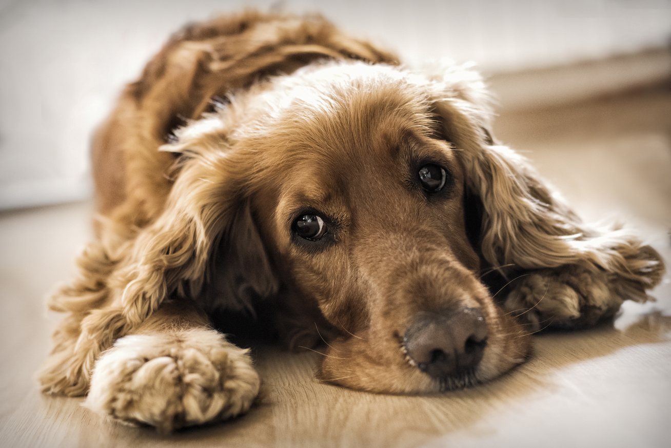 magas vérnyomás kutyák kezelésében