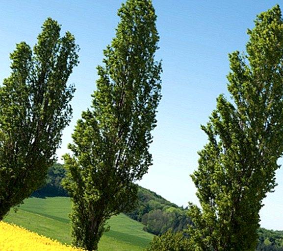 nyárfa magas vérnyomásban