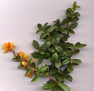 • Borbolya (Növény) - Online Lexikon