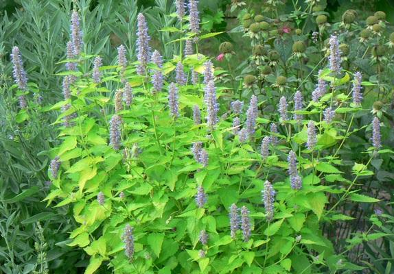 Lofant ánizs - leírás és termesztés, előny