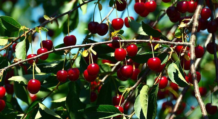 a cseresznye jó magas vérnyomás esetén